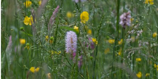 Faszinierende und seltene Naturschönheit: Die blühenden Frankenwaldwiesen (2)